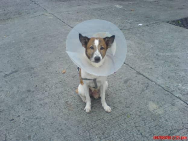 perineal-hernia-in-dogs