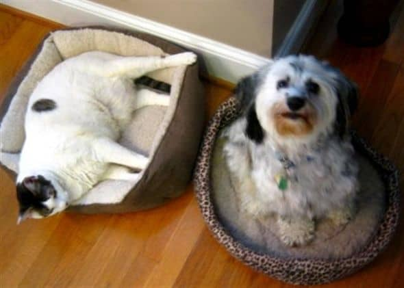 Tucker has resigned himself to the cat bed!  Poor baby...