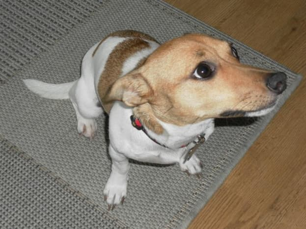 Jack Russell Terrier - terrier group (although strictly speaking the Parson Jack Russell is the official group member)