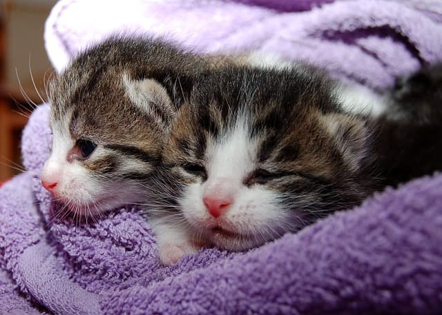 Kittens can contract cat flu in catteries.