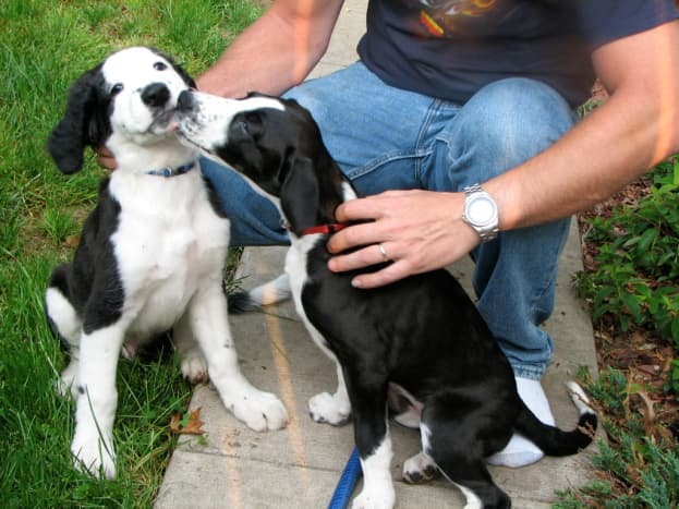 Either one of these puppies would make a great Inkblot because of their irregular black and white patterns.