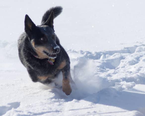 An Australian Cattle Dog enjoying the snow.
