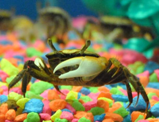 Freshwater Fiddler Crab