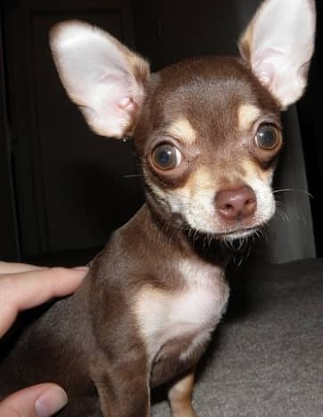 The Chihuahua, one of the best tiny dog breeds.