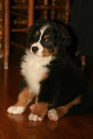 A Bernese Mountain Dog puppy.