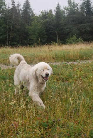 A Great Pyrenees outside.