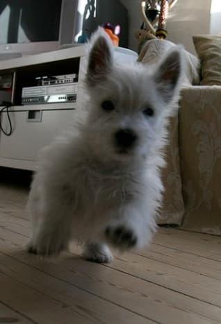 A small Westie watchdog on duty.