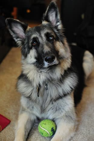 Shiloh Shepherds are good guard dogs.