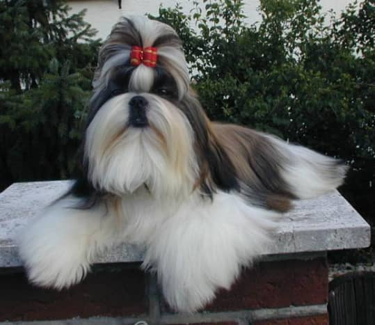 The Shih Tzu is carefully groomed for dog shows.