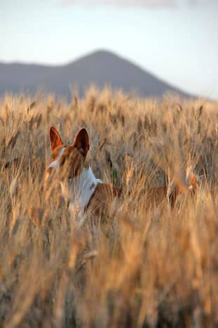 Basenji are known for jumping up and down in place to spot game—this is probably why.
