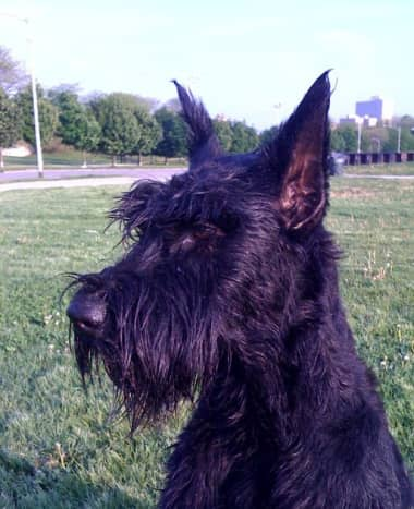Instead of driving cattle, the Giant Schnauzer now provides protection for his family.