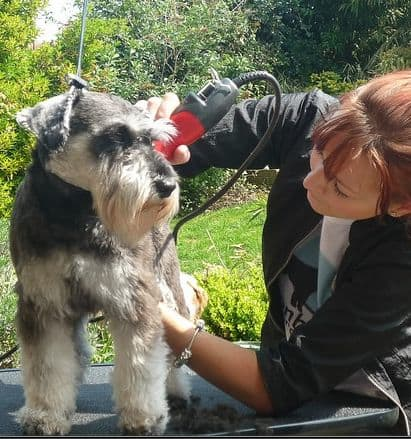 Miniature Schnauzers don't shed much, but they do need to be groomed.