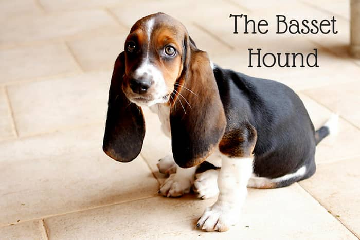 Basset Hounds will run off if following a good scent.