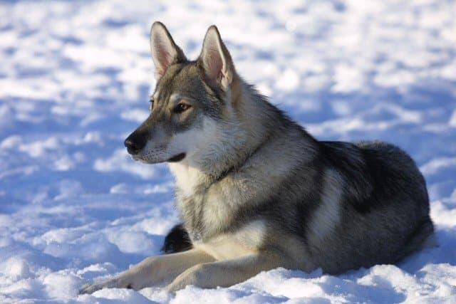 The Tamaskan dog.
