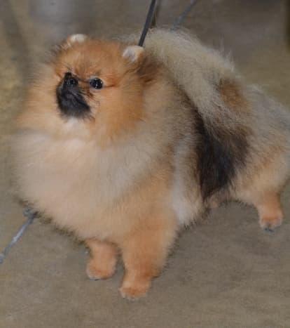 Pomeranians are really fluffy.