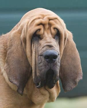 An adult Bloodhound.