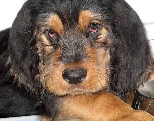 An Otterhound puppy.