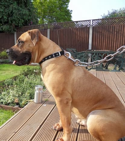 The Boerboel is a loyal dog developed to protect his family.
