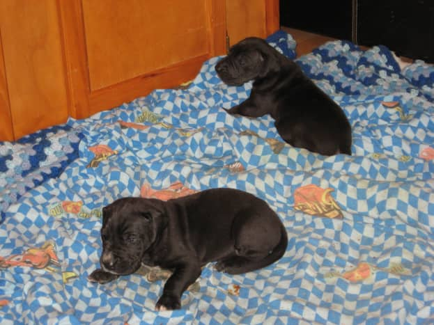 Young puppies are more susceptible to dog pneumonia than healthy adult canines are.