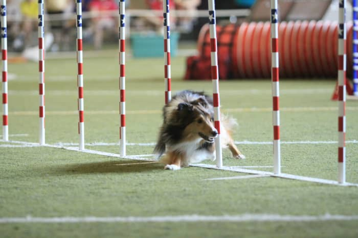 In this photo, the Sheltie is using his dew claw to help stabilize his leg when weaving.  This particular dog's weave style is to single step with the body very low to the ground, allowing the dew claws to make contact with the soccer turf.