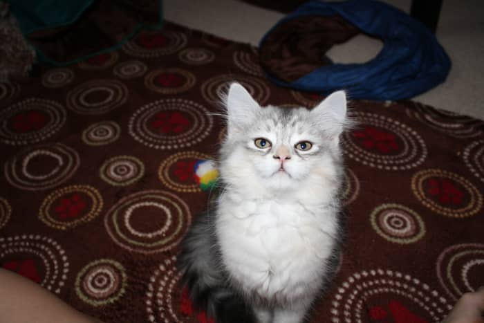 For the true cat lovers, here are some more pics of life with my wonderful Siberians.