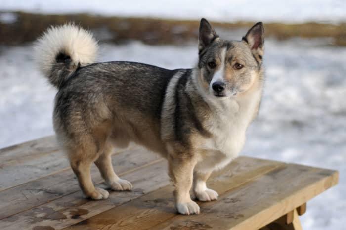 Swedish Vallhund (ancestor of the Cardigan Welsh Corgi)