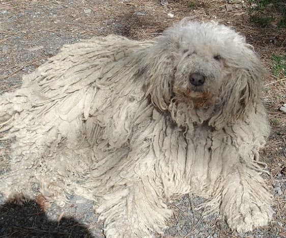 Some Komondor cords look more like mats; careful grooming can help the coat cord properly.