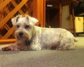 This is my Miniature Schnauzer, Baby, before she was bitten by the spider.