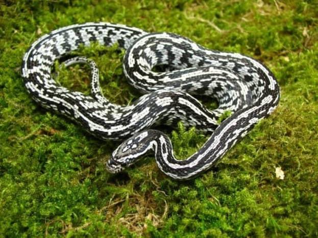 Black and white corn snake colour morph.