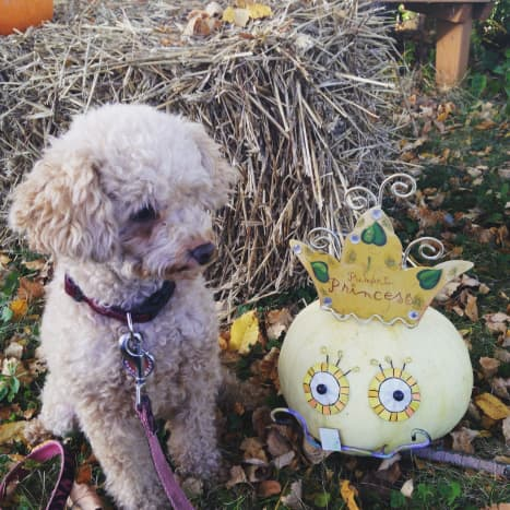 Izze the Toy Poodle
