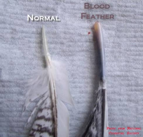 An unbroken blood feather plucked from the follicle.