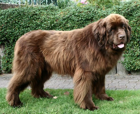 Historically, Newfoundlands have been used as fishing aids and water-rescue dogs.