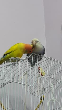 Picture showing male lovebird Mumu preening Lulu, the female lovebird.