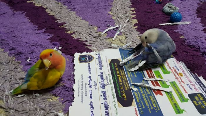 Picture showing female lovebird (right) depicting nesting behavior (shredding strips and putting them in her tail). The male (her mate) is imitating her unsuccessfully.