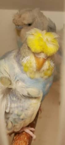 breeding-budgerigars
