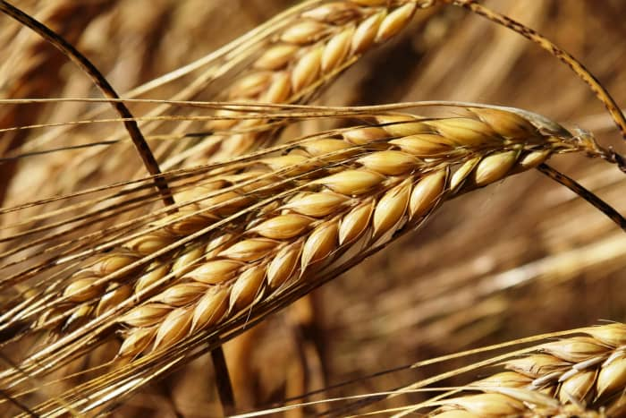Heads of barley in the field