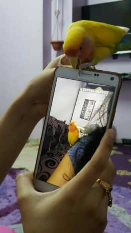 My lovebird, Mumu, doesn't want me to use my mobile and wants all my attention for himself. He is trying to distract me by chewing my mobile cover.