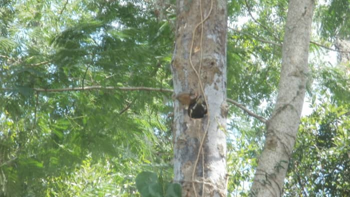 Female Pileated Woodpecker looking out of nest