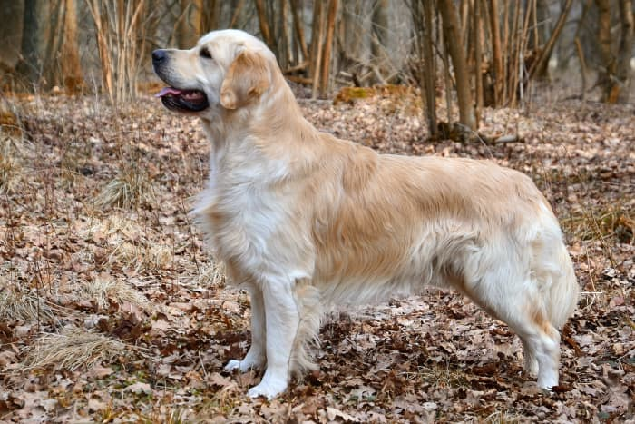 Golden Retrievers are usually great dogs, but since they are large and strong, they generally require obedience training.