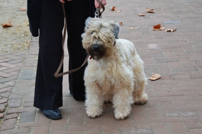 A Briard is an awesome guard but will need to be combed every day to prevent the formation of mats.