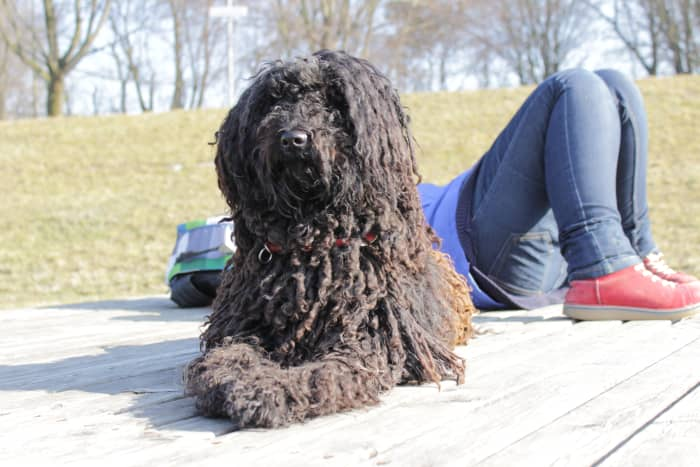 The Spanish Water Dog is a good guard that does not shed and only has to be clipped once a year.