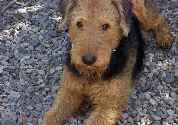 Airedales can be good pets and guards but will need good socialization too.