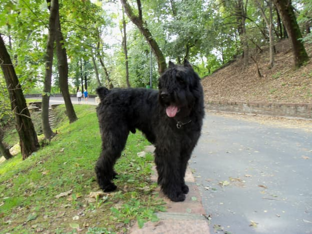 The Bouvier des Flandres is large and tough, but like any herding dog, will need plenty of exercise.