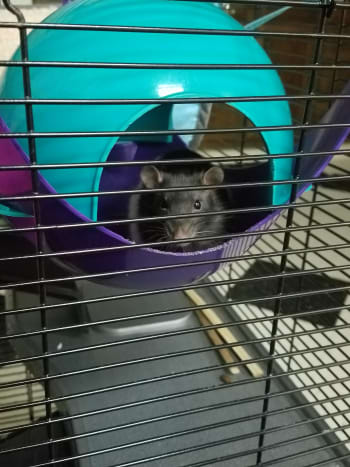It's important to introduce resident rats to new rats before housing them together.