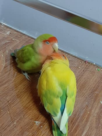 Lovebird Mumu preening his mate, Juju.