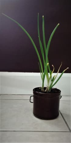 Green onions are so easy! Stick them in some good soil and place them by a window - they will soar!
