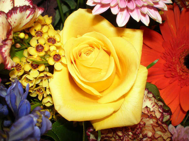 Yellow roses represent, among other things, friendship shared between two people. They are a good option for giving to a friend this Valentine's Day. They are a platonic rose color.