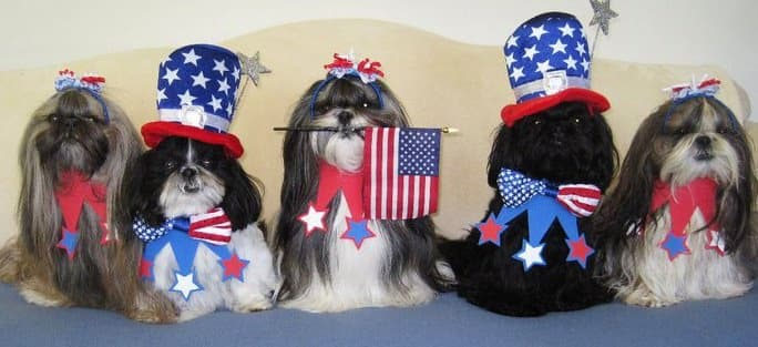 Shih Tzu dogs all dressed up in patriotic costumes for the 4th of July