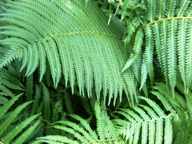 Ferns (Morguefile Free license)