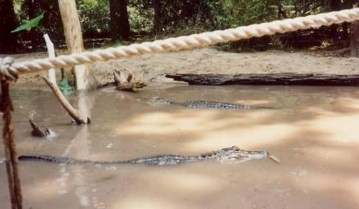 Alligators at Silver Springs, Florida